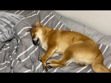 爆睡中、唐突に「散歩」と言った結果 by よりめのはちくん。