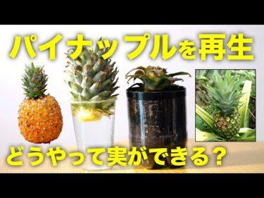 【再生野菜】パイナップルを再生栽培で育てる方法と日本で栽培する注意点【リボベジ】by Daisuke Miyazaki