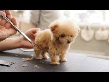 極小パピー、生後3か月の初めてのトリミング(トイプードル)by Lovely Grooming