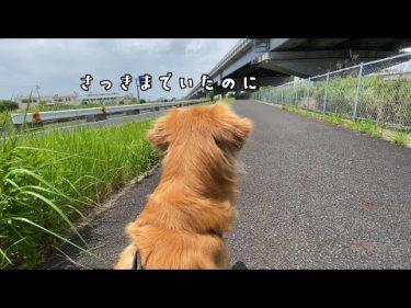 散歩中に突然飼い主がいなくなった時の愛犬の反応がかわいいw by ゴールデンレトリバー「ジョイ」