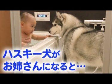 とっても優しいハスキー犬が、赤ちゃんのお姉さんに♡ ハスキー流の子育て日記 by PECOチャンネルさん【癒やしのペット動画】