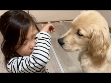 泣いていた子供を慰めて、黙って横に寄り添う優しいゴールデンレトリバー仔犬 #もふもふゴールデンレトリバー コタロー
